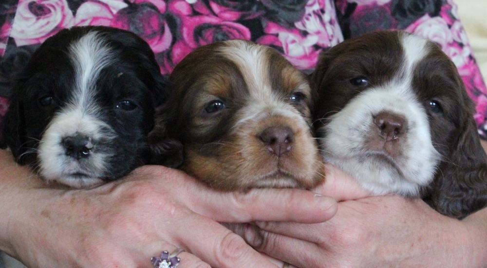 Pricing | Royal Springer Spaniels