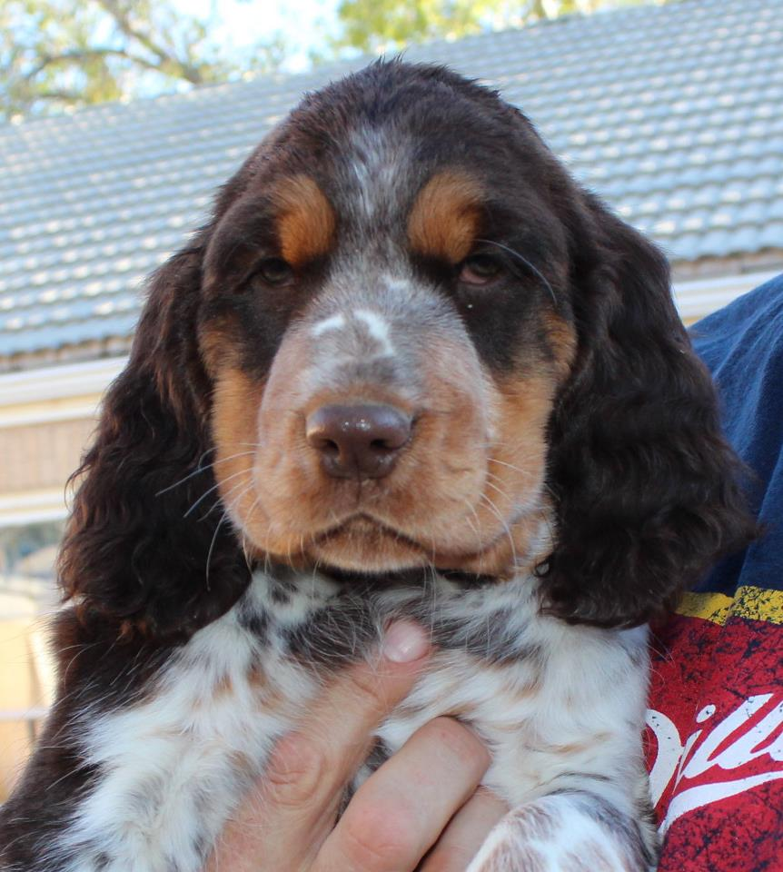 Pictures of Tri Colored English Springer Spaniel Puppies - #rock-cafe